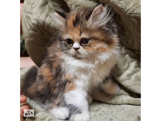 Персидский котенок девочка- объявление о продаже   в Украине