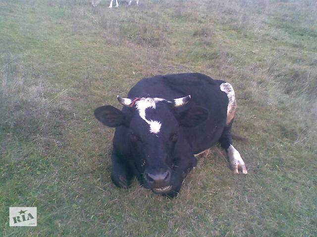 бу Продается молодая корова в Ужгороде