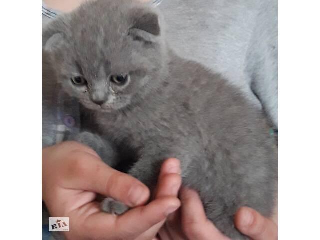 купить бу Продам британских вислоухих котят в Одессе