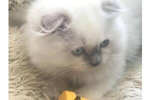Продам чистокровне шотландське кошеня Scottish Fold