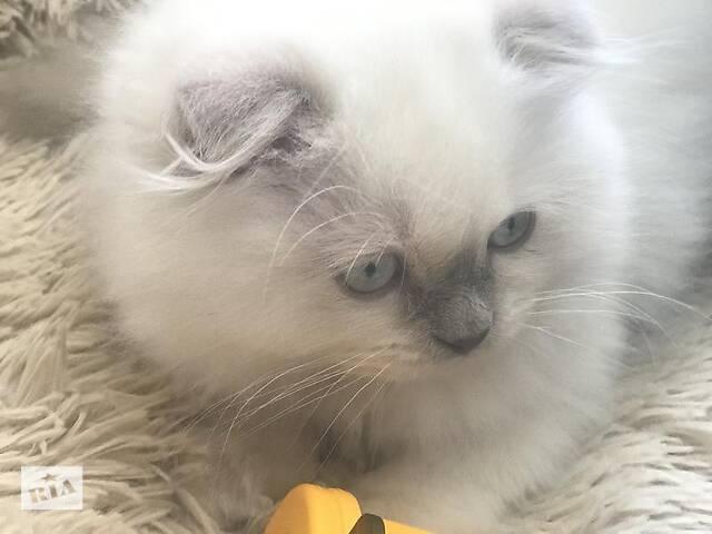 бу Продам чистокровне шотландське кошеня Scottish Fold в Дубно