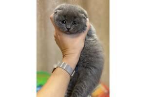 Продам чистокровных шотландских котят