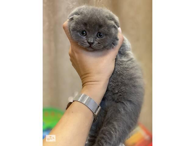 Продам чистокровных шотландских котят- объявление о продаже  в Виннице