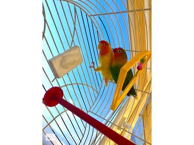 Продам двух попугайчиков  - объявление о продаже  в Одессе