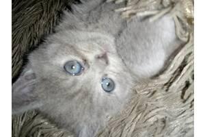 Продам котеня британочка чистокровна залишилася дівчинка