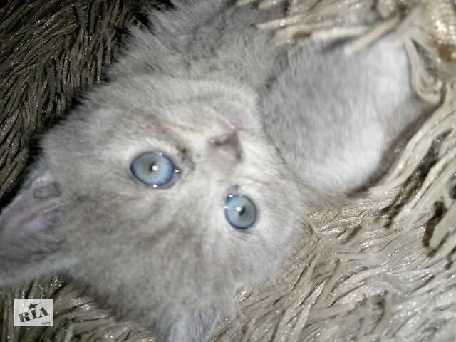 бу Продам котеня британочка чистокровна залишилася дівчинка в Козельце