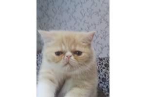 продам котят экзотической короткошерстной породы
