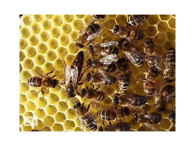 продам продам пчёлопакеты бу в Купянске