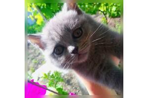Продам прямовухих британських кошенят,