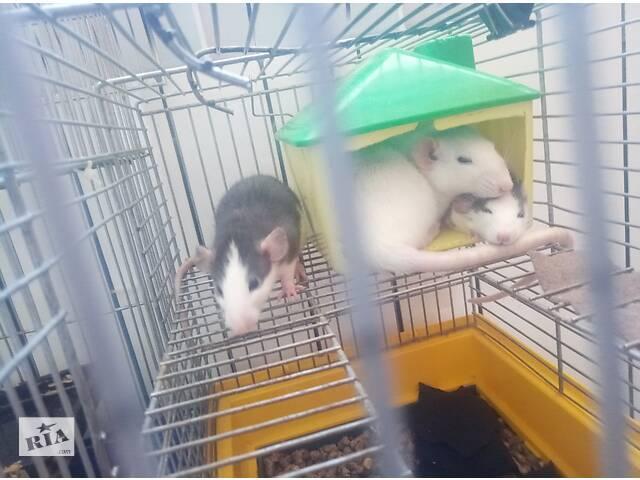купить бу Продам ручных крысята 50гр в Киеве