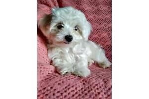 Продам щенка Мальтийской болонки.