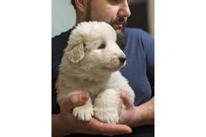 Продам щенка Маремма Украина, Днепропетровск