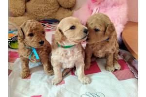 Продам щенков карликового пуделя