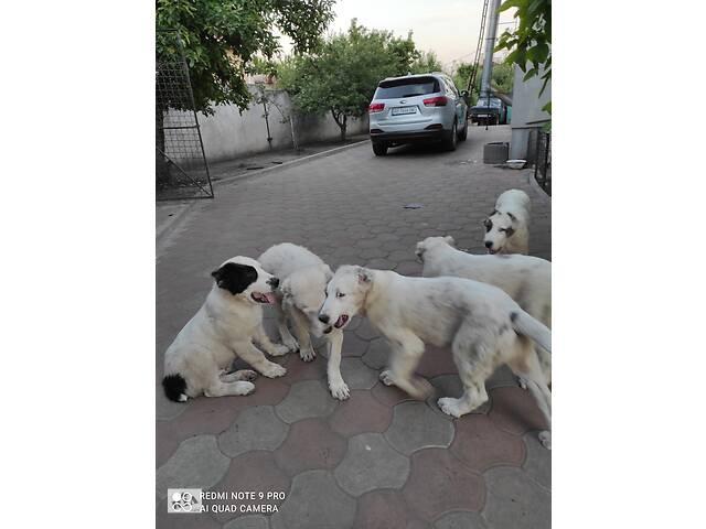 продам Продам щенков среднеазиатской овчарки бу в Днепре (Днепропетровск)