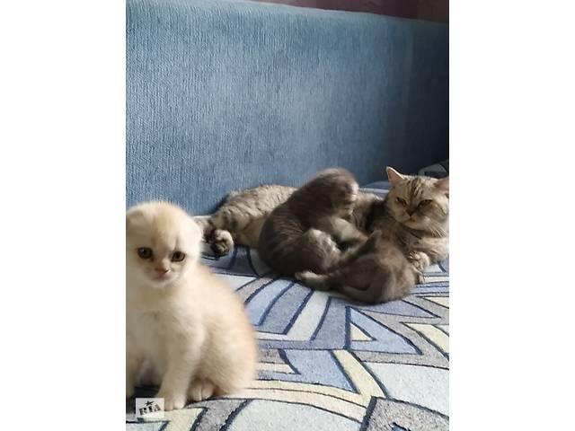 Продам шотландських котиків