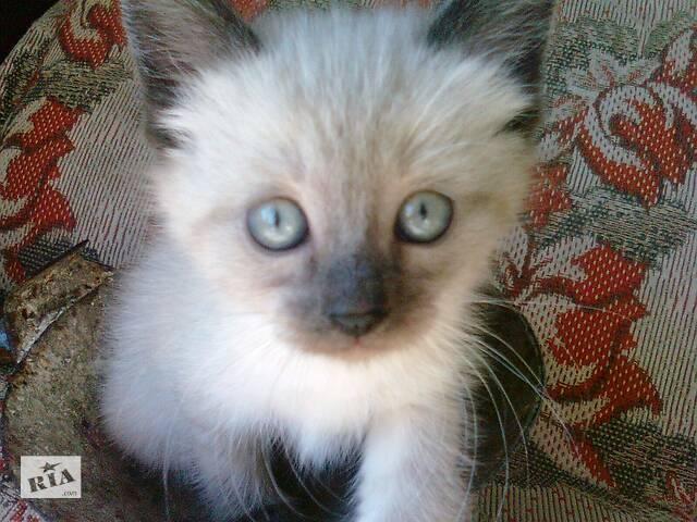 купить бу продам сіамських котиків  в Україні