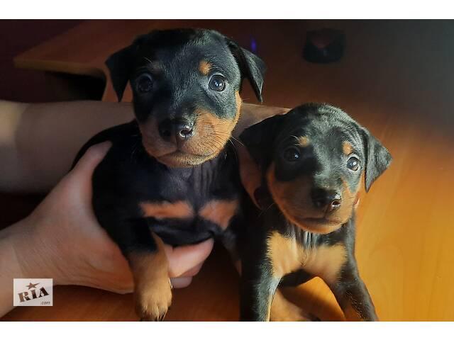 Продам собак Цвергпинчера