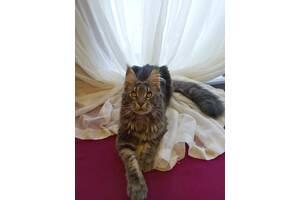 Продажа котят мейн-кун не метещая линия