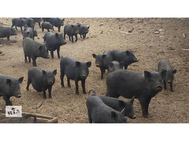 купить бу Продаж свиней витнамських в Миколаєві
