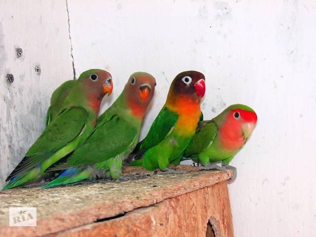 купить бу Птенчики неразлучников! в Мариуполе