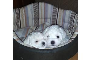 Самые красивые щенки Бишон Фризе