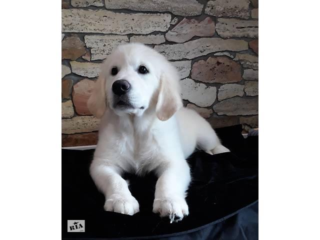 продам щенки голден ретривер для семьи бу  в Украине