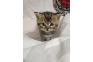 Шотландские котята (Scottish fold, Scottish stright)