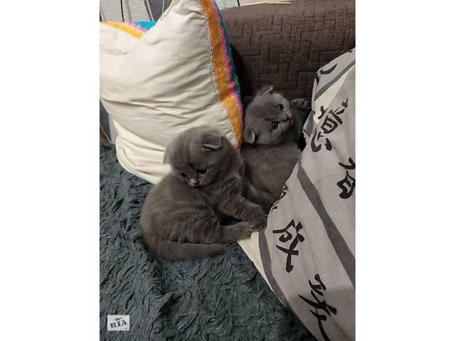 продам Шотландские котята бу в Черкассах