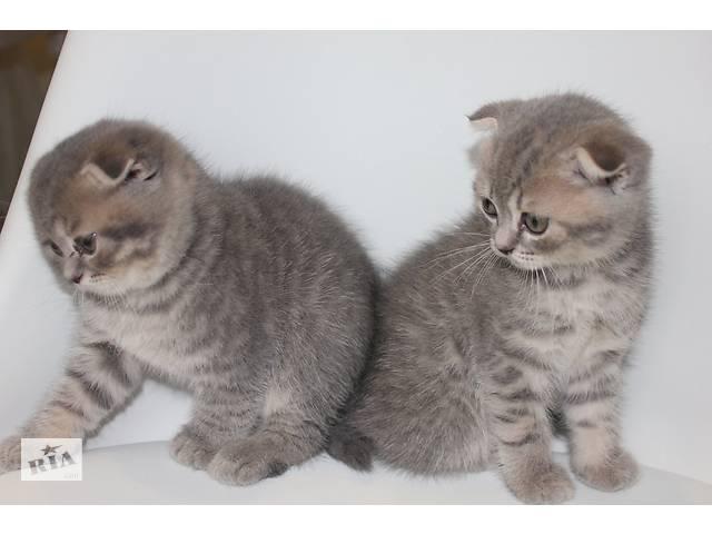 бу Шотландские котята  в Миколаєві