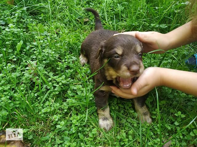 Собачки невеличкі- объявление о продаже  в Ивано-Франковске