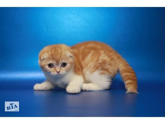 бу Солнышко Шотландочка-вислоушка, котенок с документами  в Украине