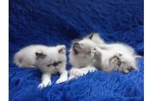 Срочно персидские малышы.