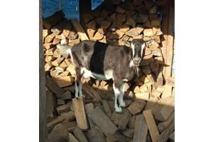 Срочно продам дойную козу.