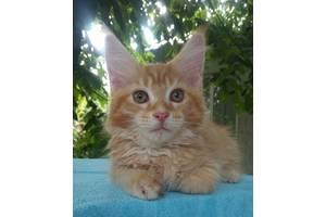Супер котята Мейн Кун