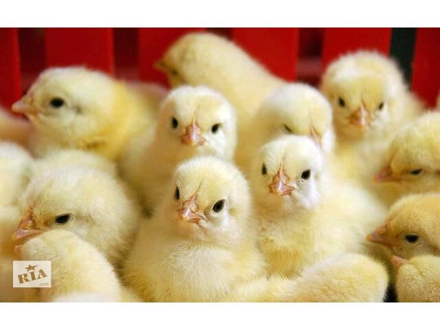 купить бу суточные цыплята в Рубежном