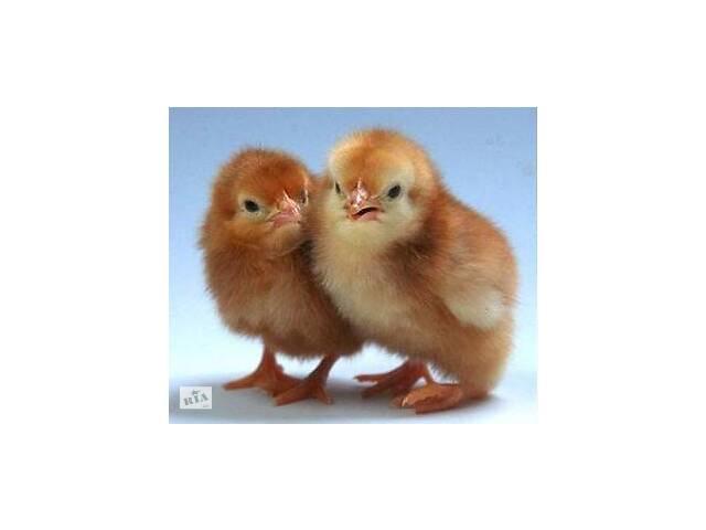 продам суточные цыплята бу в Рубежном