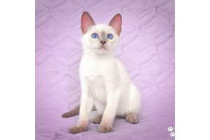 Тайские котята из питомника