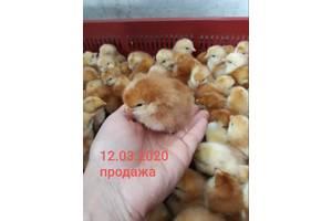 Цыплята суточные мясо-яичка