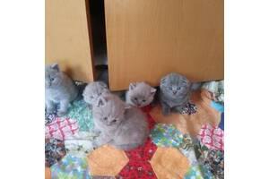 Висловухі кошенята британської короткошерстої породи