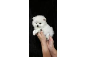 Высококачественные белоснежные щенки шпица миниатюрного
