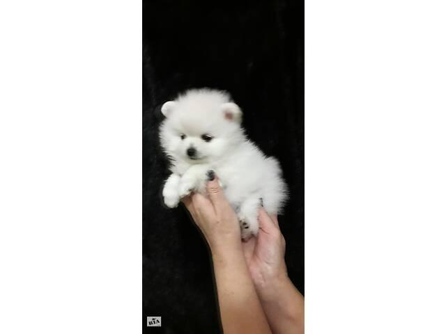 купить бу Высококачественные белоснежные щенки шпица миниатюрного в Кременчуге