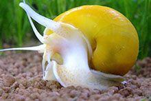 Улитки для аквариума
