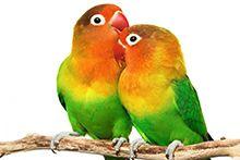 Декоративные и экзотические птицы