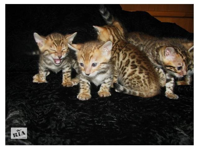 купить бу Бенгальские котята Питомник бенгальских кошек  sunnybunny.by