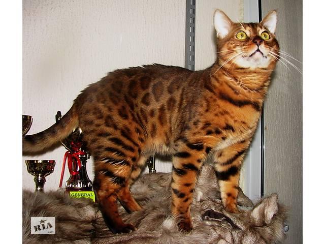 Вязка бенгальских кошек Питомник бенгальских кошек  sunnybunny.by  - объявление о продаже